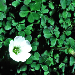 Oxalis magellanica